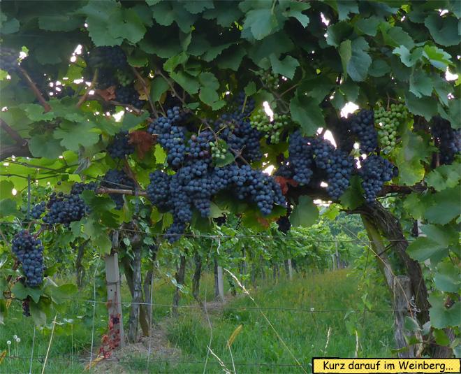 Weintrauben Rebstock