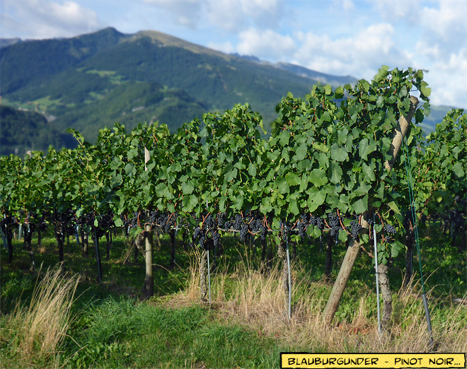 Blauburgunder Pinot Noir Reben