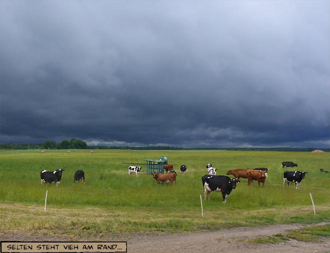 Kühe bei Gewitter