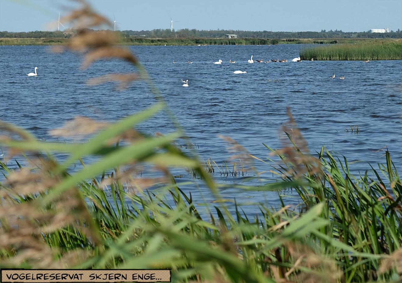 Skjern Enge Wasservögel