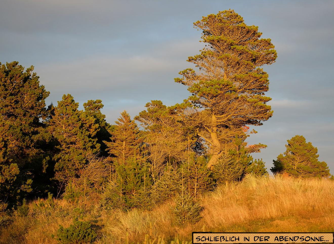 Herbstliche Kiefer in Dänemark