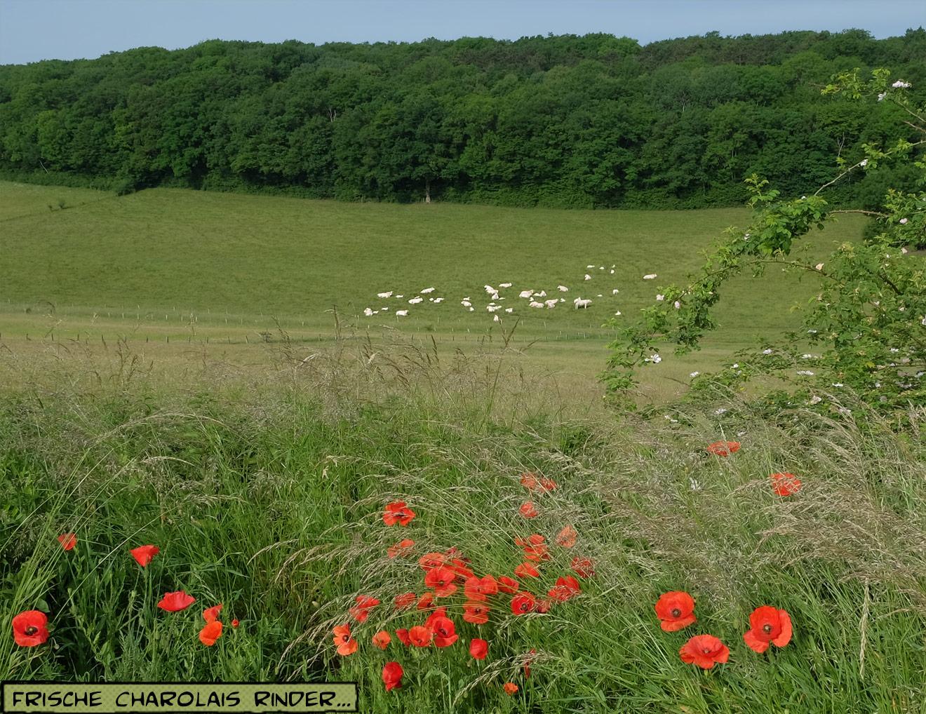 Charolais Rinder auf der Weide in Frankreich