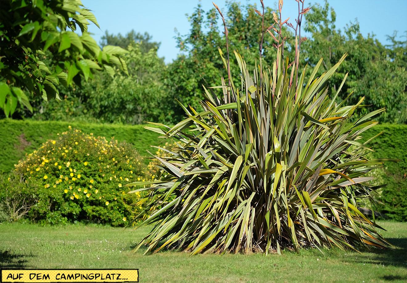 Pflanzen in der Bretagne