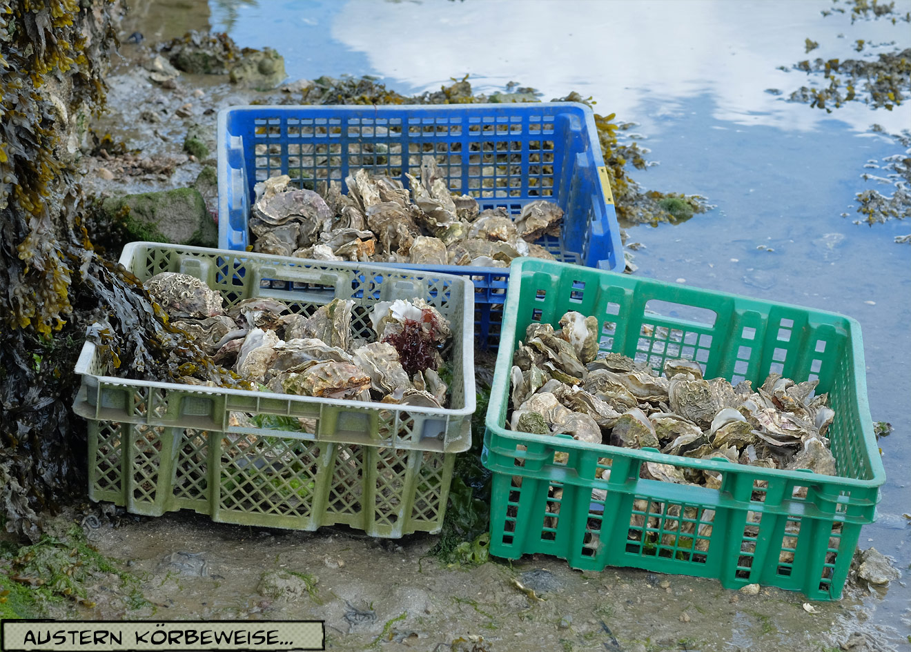 Korb mit Austern