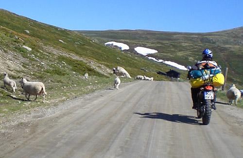 Schafe auf der Piste