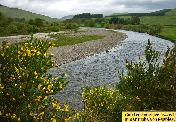 Ginster in Schottland am River Tweed