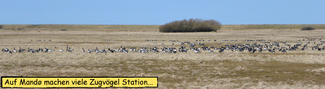 Zugvögel auf Mandø