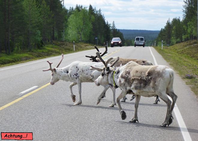 Rentiere Straße Auto Finnland