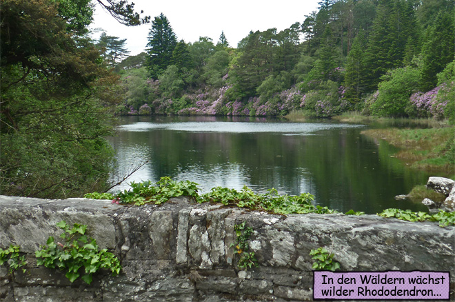 Rhododendron Irland